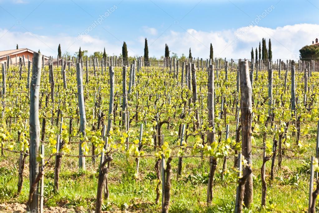 Vineyards in Italy. Horizontal shot
