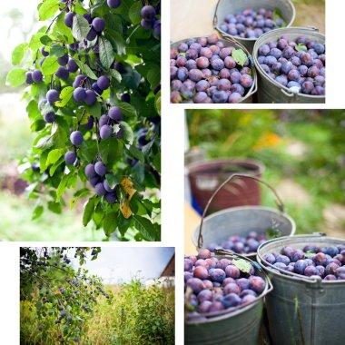 Plum harvest collage