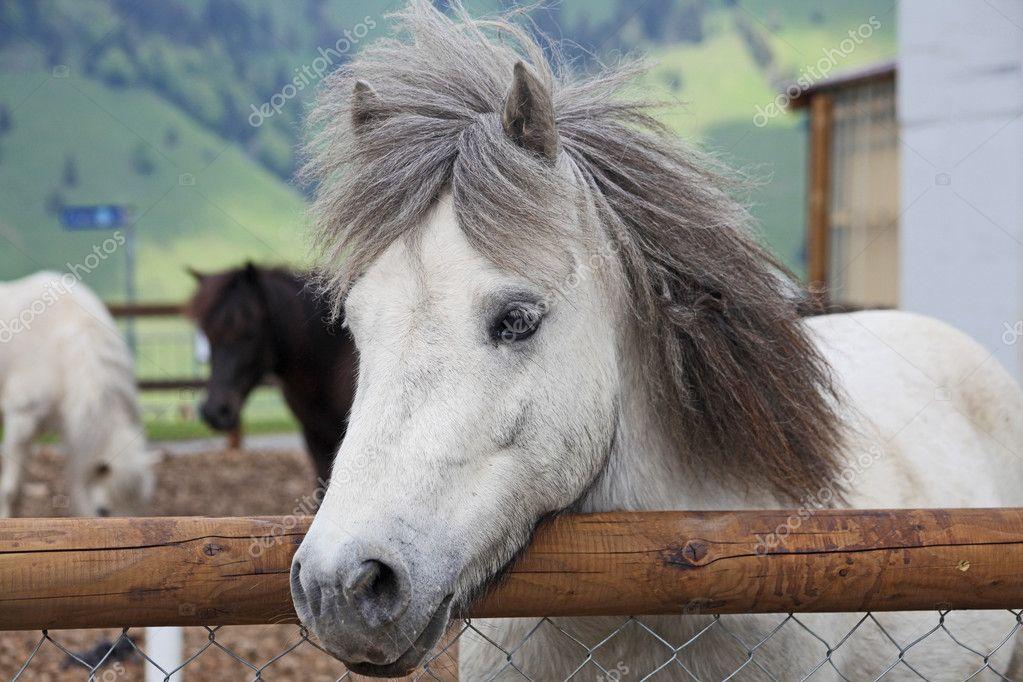 Preferenza belli e divertenti cavalli bianchi fattoria preso nelle Alpi della  ZW03