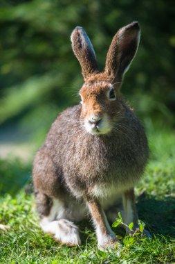 Mountain Hare (lat. Lepus timidus)