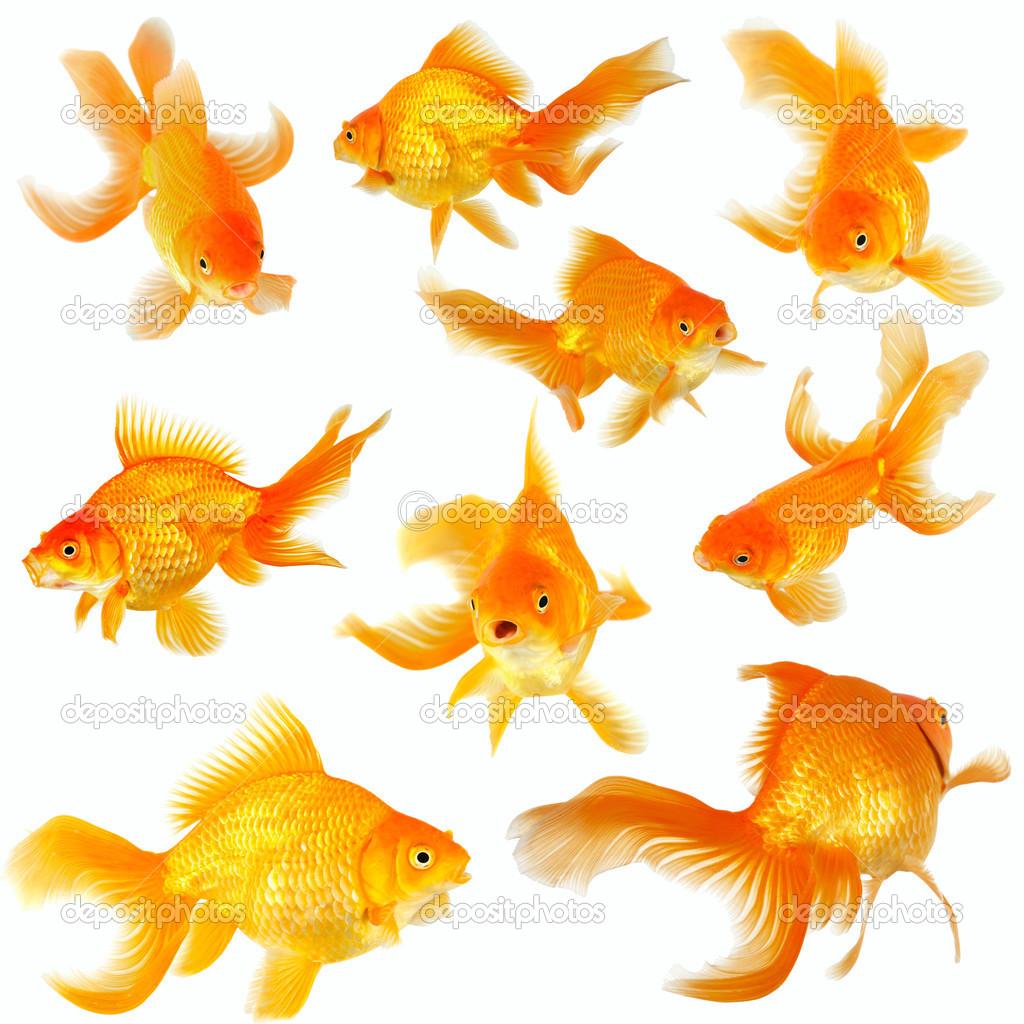 Collage di nove pesci rossi fantail su bianco foto stock for Pesci rossi costo