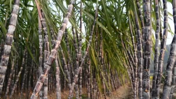 cukornád ültetvények