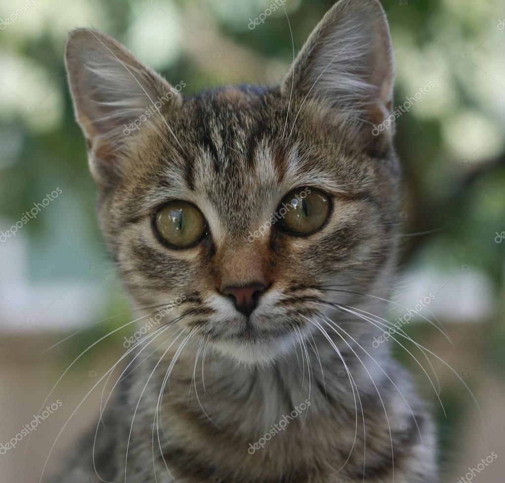 Ritratto di gatto occhi marroni \u2014 Foto di vanias