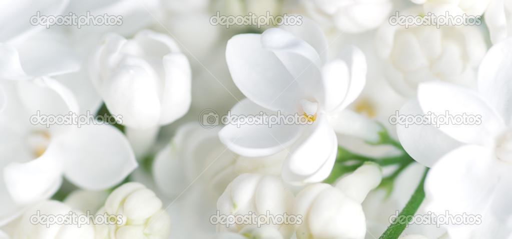 weiße blumen hintergrund — Stockfoto © amuzica #31481325