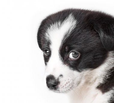 Puppy. border collie dog isolated