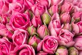 krásné růžové květy růže