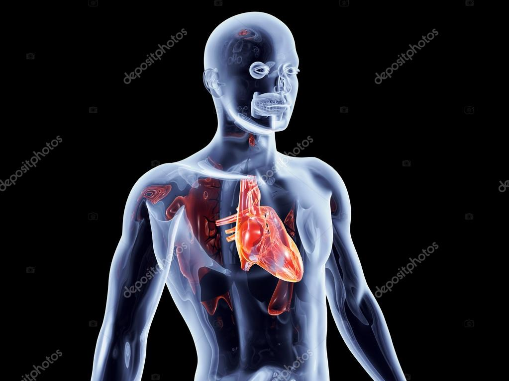 Internal organs heart stock photo spectral 23878465 internal organs heart stock photo ccuart Gallery