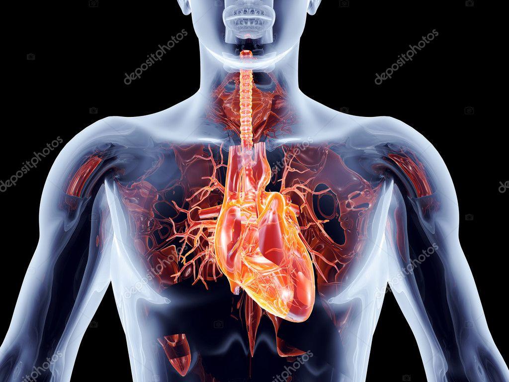 Órganos internos - corazón — Foto de stock © Spectral #24842277