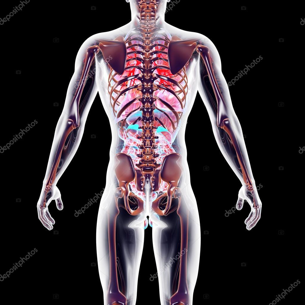 órganos internos — Foto de stock © Spectral #27678847