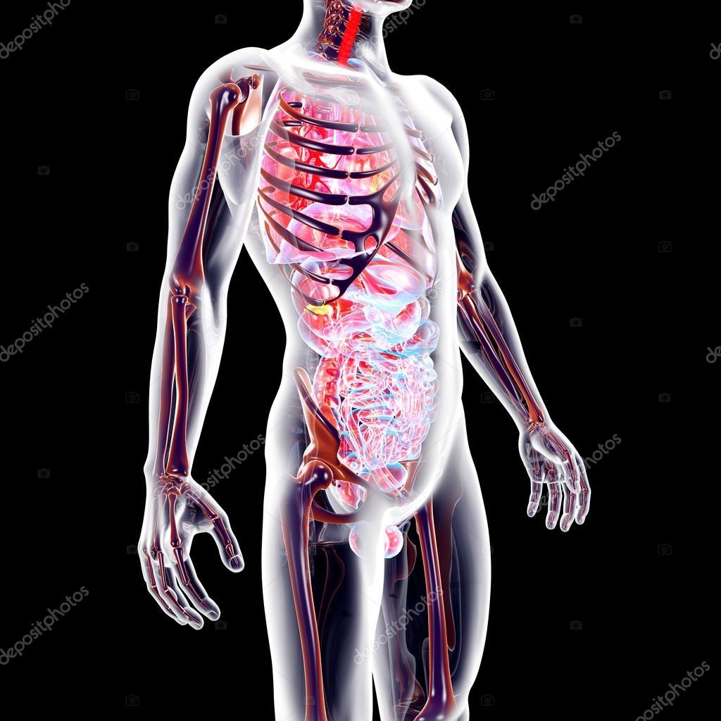 órganos internos — Fotos de Stock © Spectral #30929213