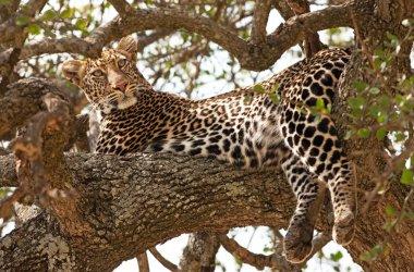 Wild leopard lying in wait atop a tree in Masai Mara, Kenya, Africa