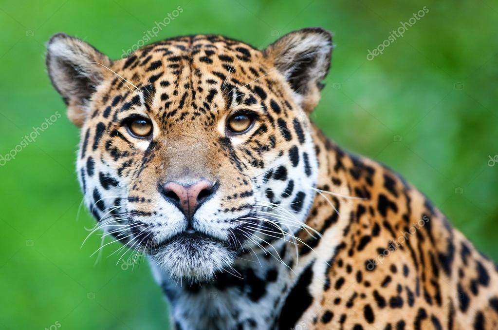 Suficiente Jaguar - Panthera onca. — Stock Photo © palko72 #17632999 TW48