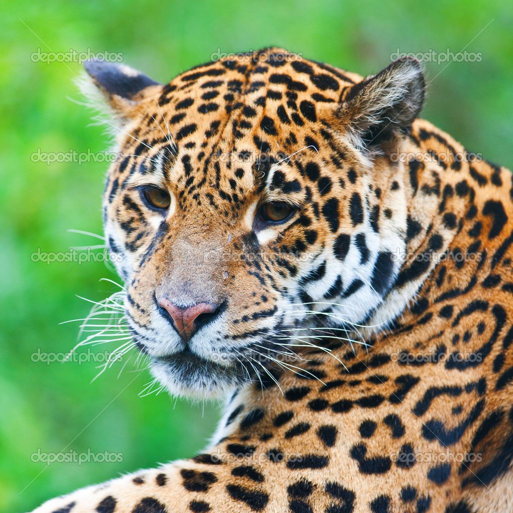 Panthera Onca Stock Images: Stock Photo © Palko72 #17633237