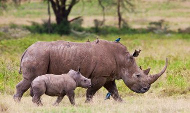 White rhinoceros or square-lipped rhinoceros (Ceratotherium simum) with her baby in Lake Nakuru National Park, Kenya.