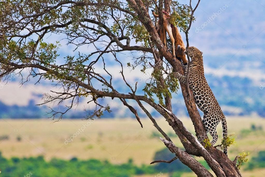 Wild leopard with its prey, an impala antelope on a tree in Maasai Mara, Kenya, Africa