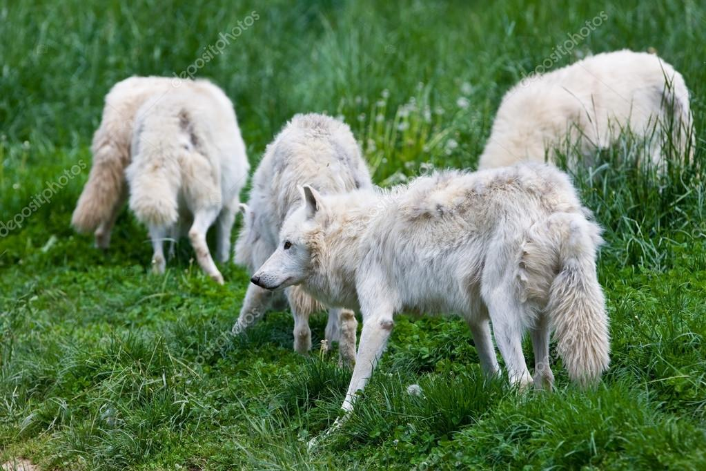 Large adult arctic wolves in the forest