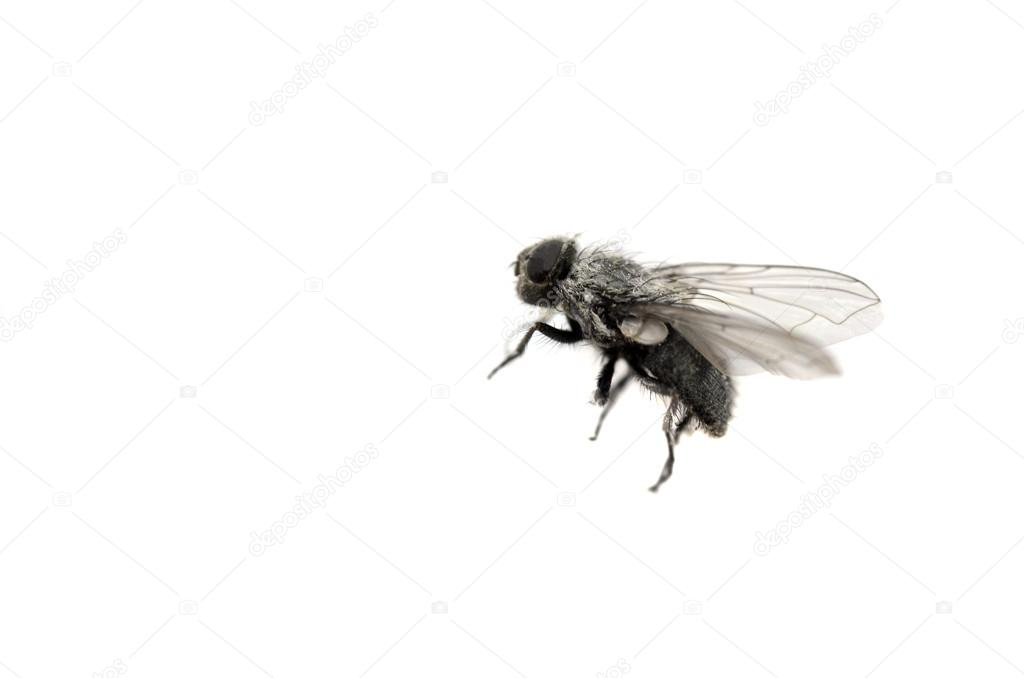 Closeup House Fly with Wings