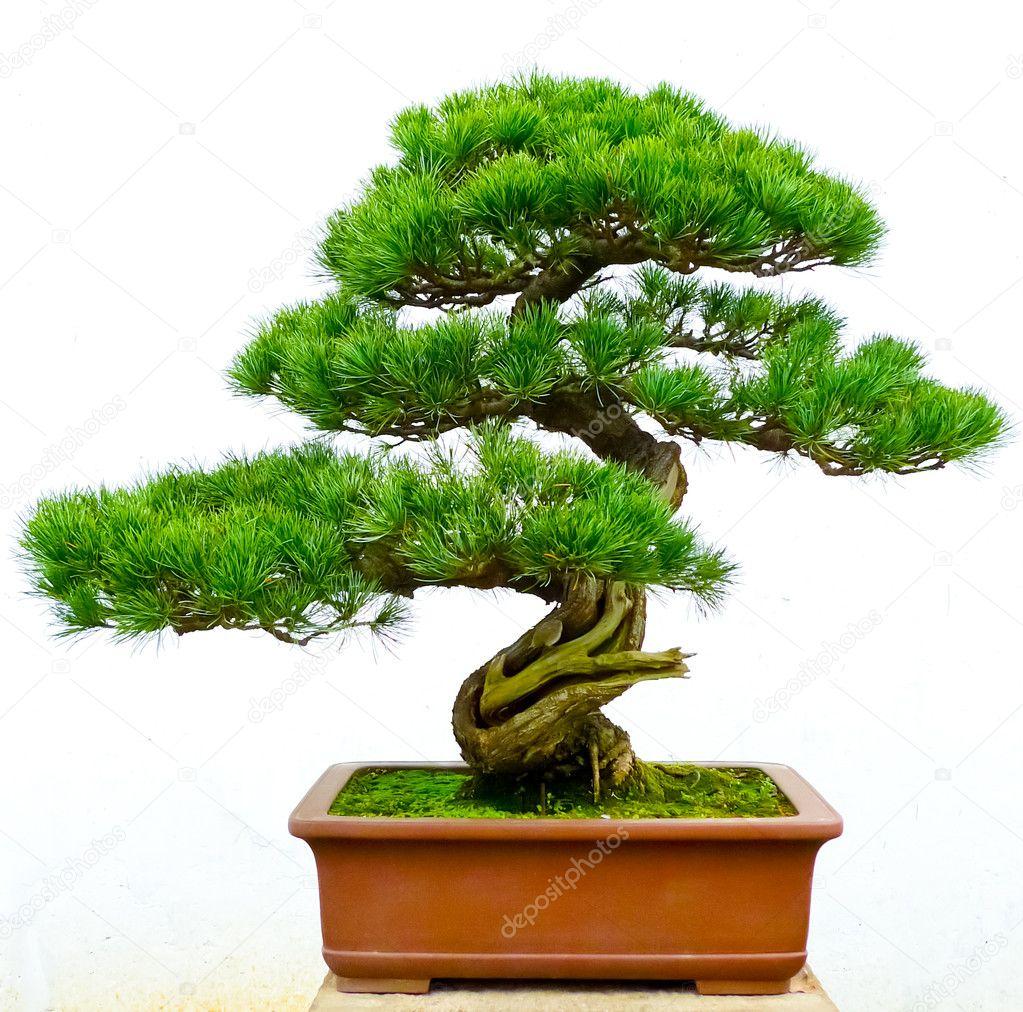 Bonsai Pine Tree Stock Photo C Msavoia 18809295