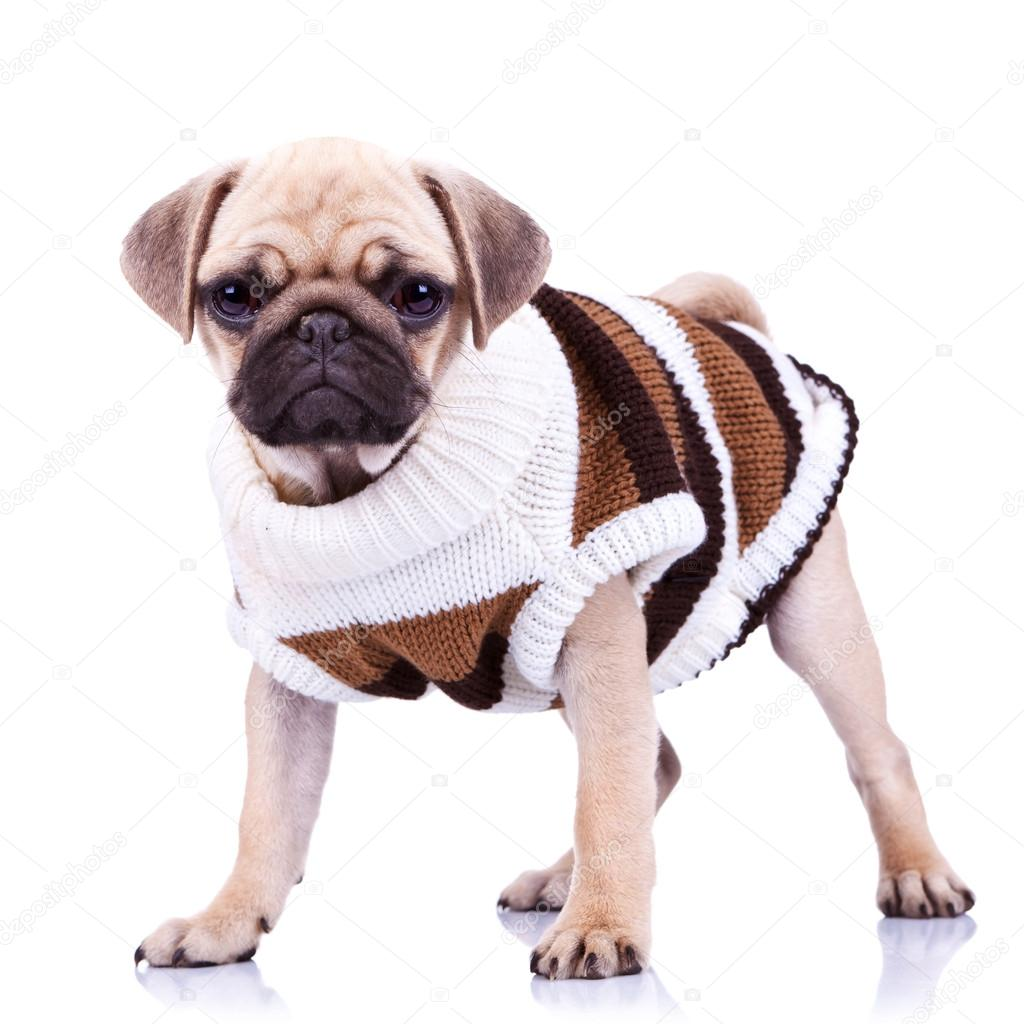standing mops dog wearing clothes stock photo feedough. Black Bedroom Furniture Sets. Home Design Ideas