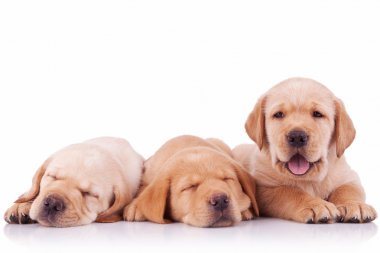 Three labrador retriever puppy dogs on white background, two sleeping and one barking to the camera stock vector