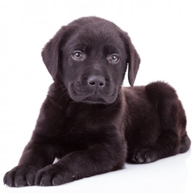 black labrador retriever puppy dog lying down