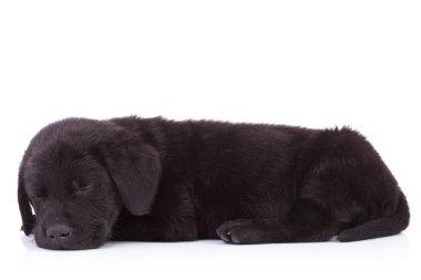 side view of a cute black labrador retriever sleeping