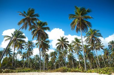 palm trees forest on the beach of punta cana