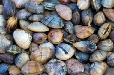 Sea shells clams