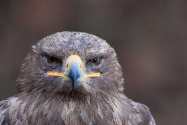 beautiful closeup of a falcon