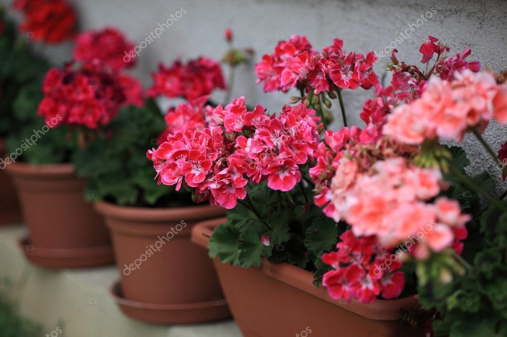 Geranium in pots