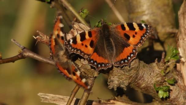 Námluvy motýli