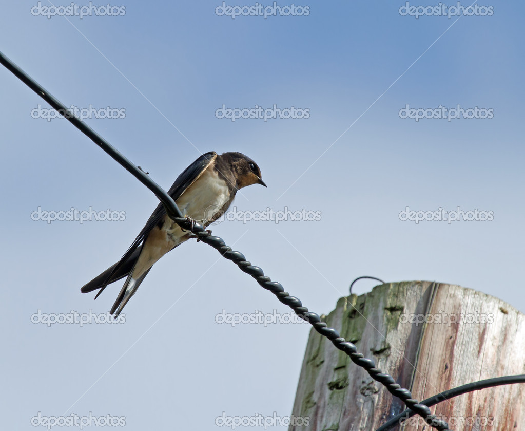 Barn Swallow on Wire — Stock Photo © suerob #31020743