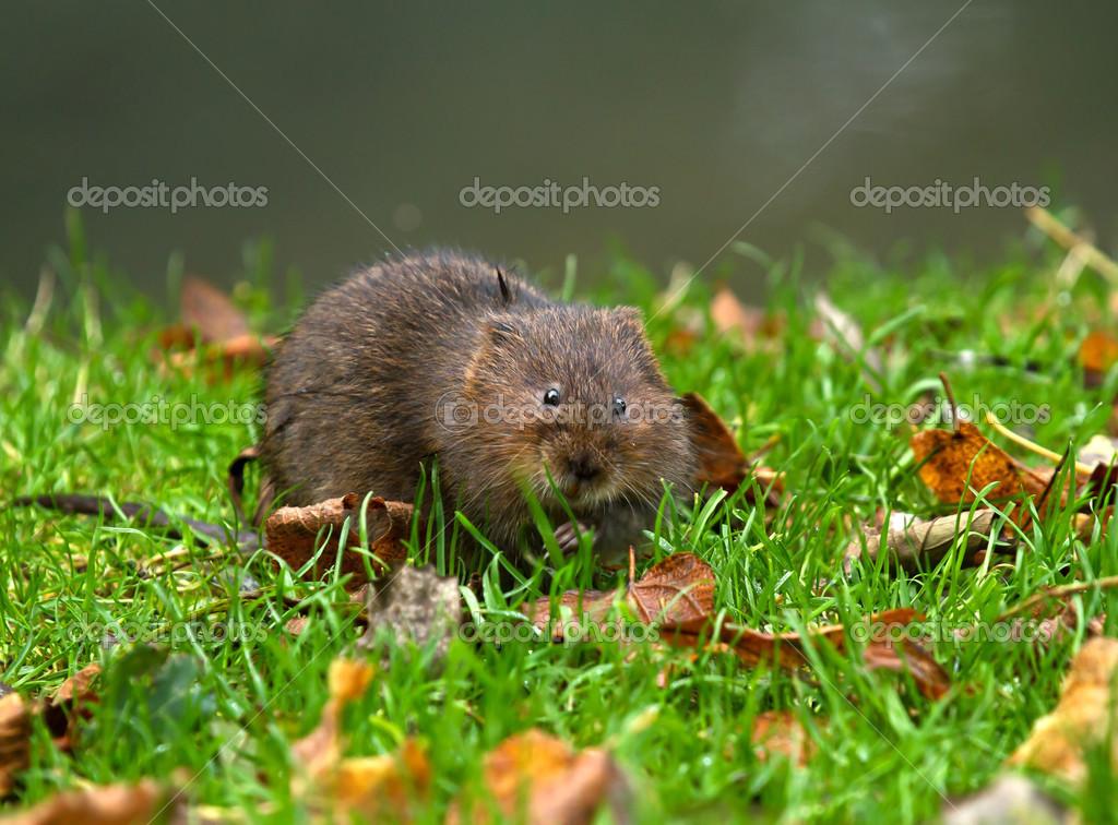 水のネズミ — ストック写真 © su...