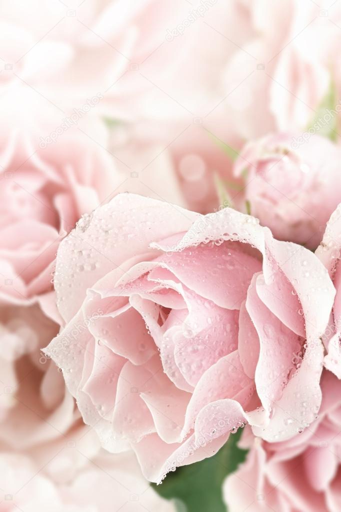 Pastel Pink Tea Rose