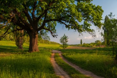 Beautiful summer landscape showing huge old oak beside country road