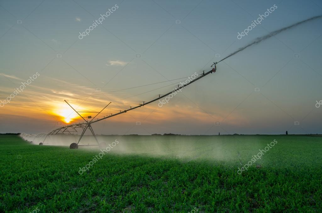 Irrigation system watering green peas agricultural field