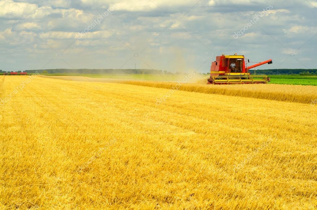 Harvester combine harvesting wheat