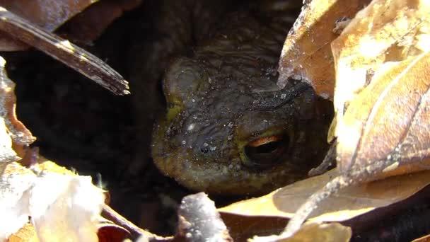 Erdkröte - Bufo - Unterschlupf