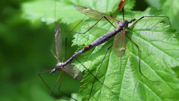 Common crane fly - pairing