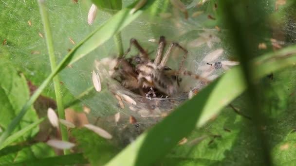 Wolf Spiders - Lycosidae - pairing