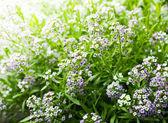 malé zahrádce kvetou koncem jara a začátkem léta