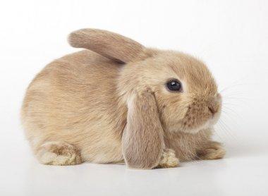 Baby of orange rabbit