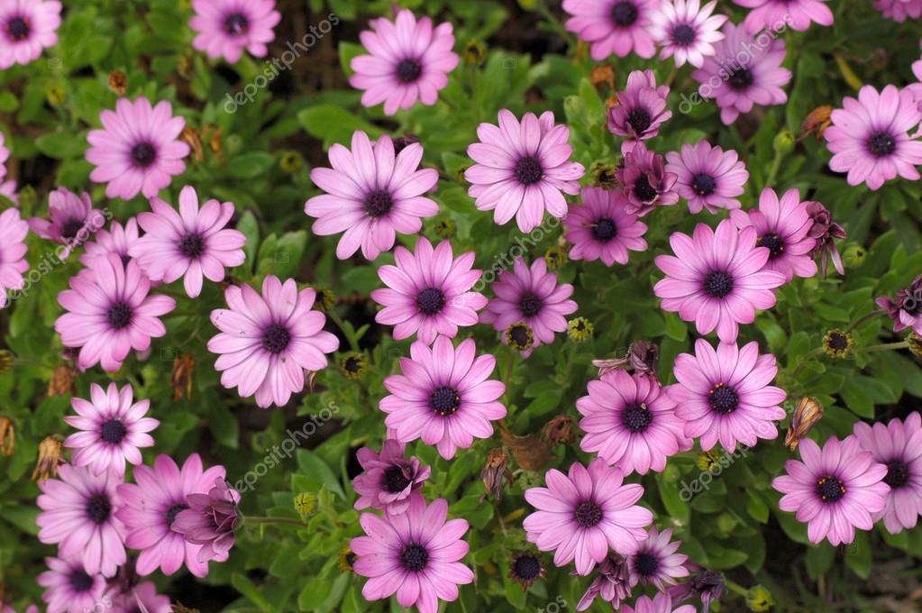 Purple daisies in full bloom
