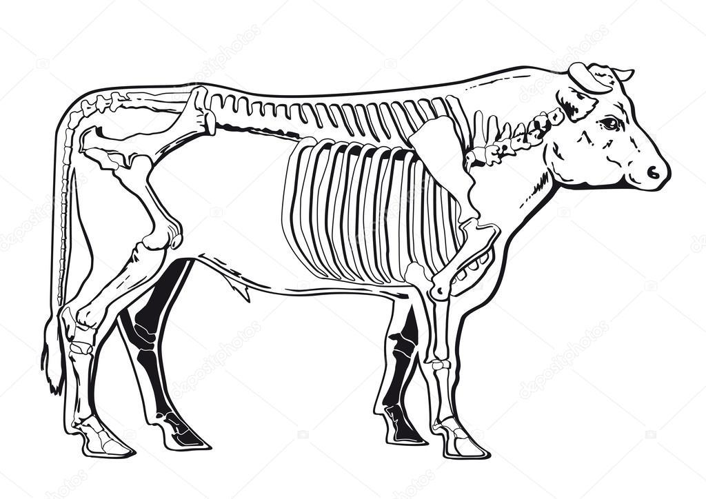 Rind Skelett — Stockvektor © scusi0-9 #46316239