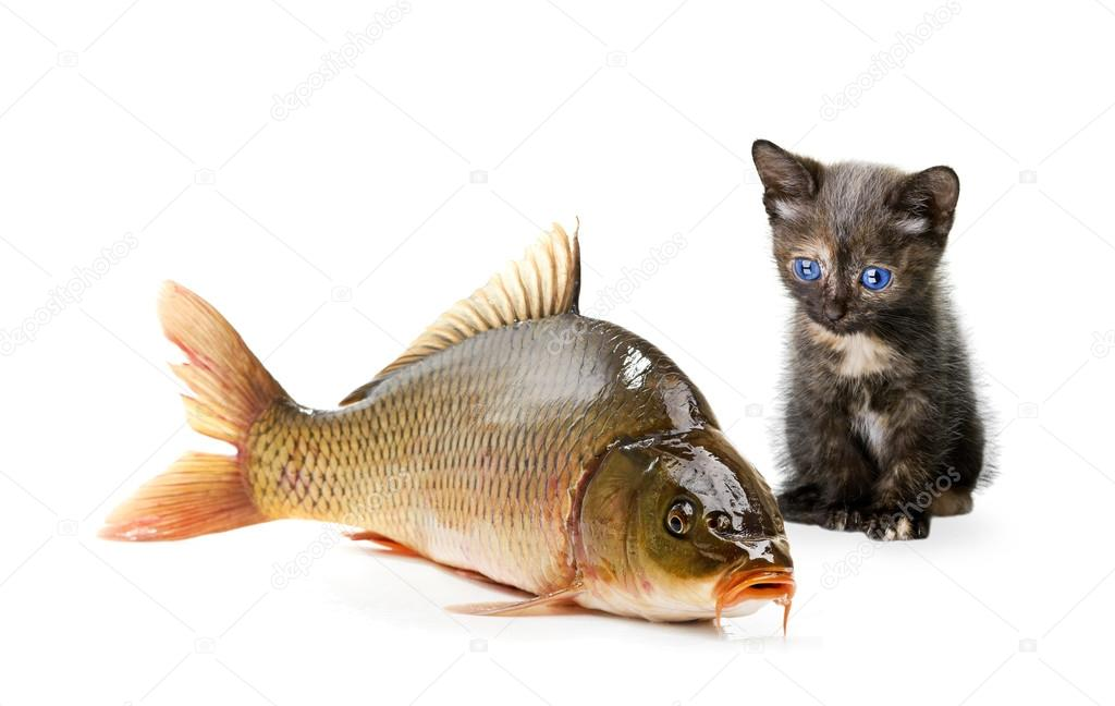 Gatto domestico e un pesce carpa foto stock for Carpa pesce