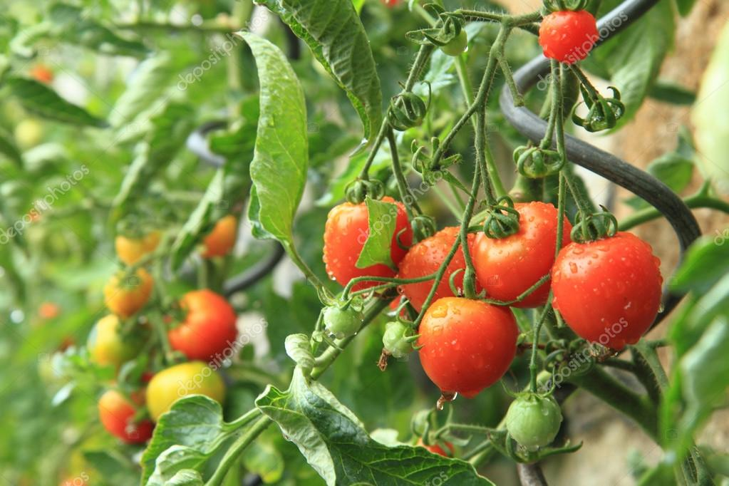 detail from home farm - tomato plants