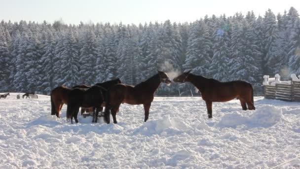 koně ve sněhu