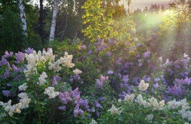 Lilac bush in morning
