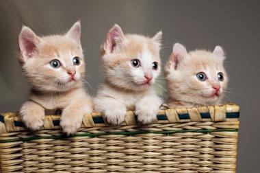 Three red kittens