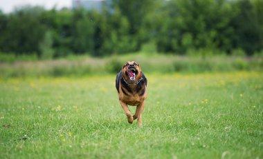Running angry dog